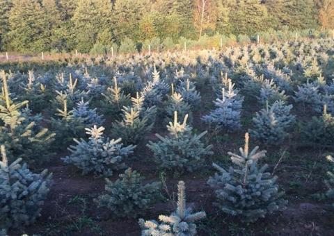 ŚWIERK SREBRNY kaibab sadzonki na choinki żywopłot rośliny iglaste liściaste leśne ozdobne hurt
