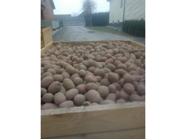 Ziemniaki wielkości sadzeniaka. Pierwszy rok po centrali -dowóz gratis